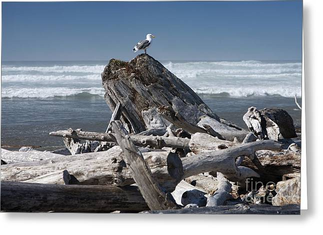 Oregon Wild Life Greeting Cards - Seagull on Oregon Coast Greeting Card by Peter French