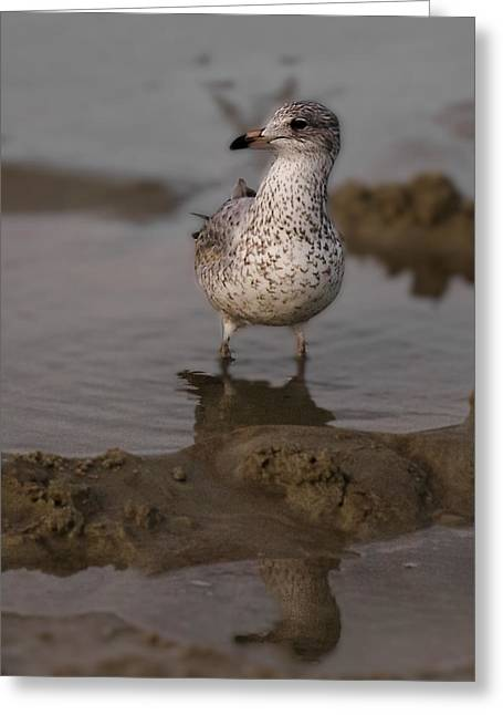 Lone Gull Greeting Cards - Seagull on the Beach No 2 Greeting Card by Michael Schwartzberg