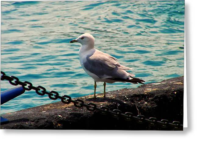 Larus Delawarensis Greeting Cards - Seagull On The Chicago Seawall Greeting Card by Chris Flees