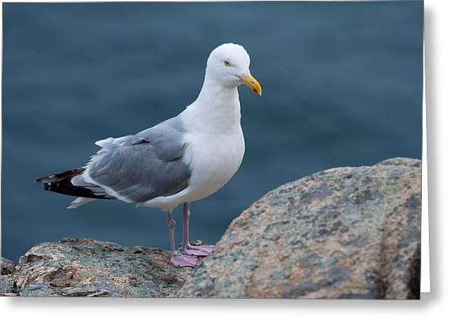 Acadia National Park Photographs Greeting Cards - Seagull Greeting Card by Sebastian Musial