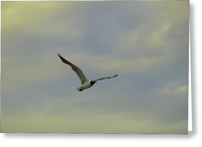 Seagull Soaring Greeting Card by Bill Cannon