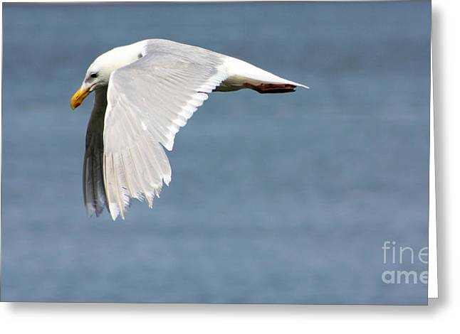 Sea Birds Greeting Cards - Seagull Wings Greeting Card by Nick Gustafson