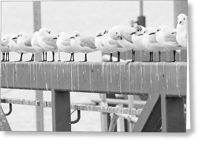 Sea Birds Greeting Cards - Seagulls in a Row Greeting Card by Chevy Fleet