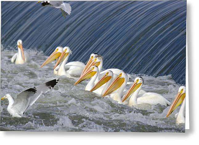 Living Things Greeting Cards - Seagulls Intrude Upon The Pelican Social Gathering Greeting Card by Jeff  Swan