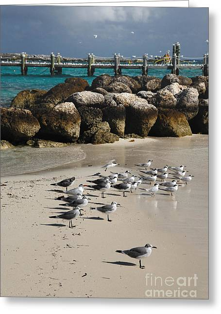 Little Stirrup Cay Greeting Cards - Seagulls on CoCo Cay Bahamas Greeting Card by Amy Cicconi