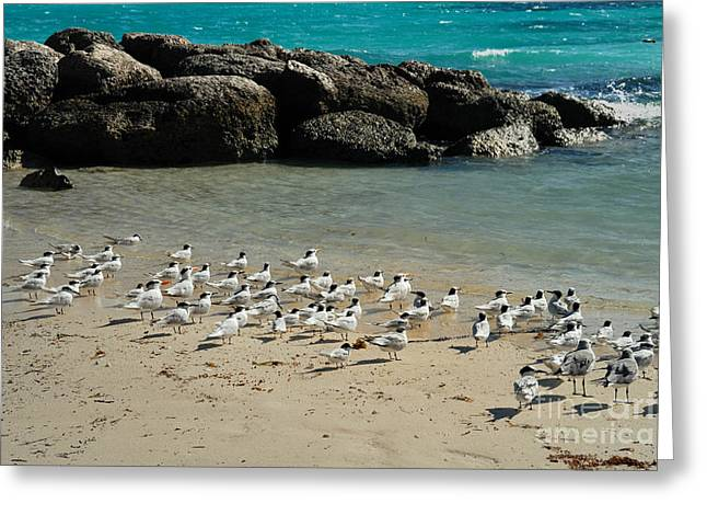 Little Stirrup Cay Greeting Cards - Seagulls on the Beach Greeting Card by Amy Cicconi