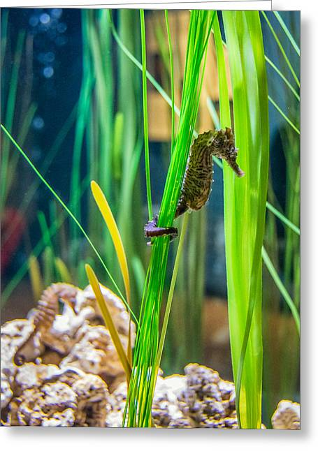 Sea Creature Photos Greeting Cards - Seahorse 2 Greeting Card by Steve Harrington