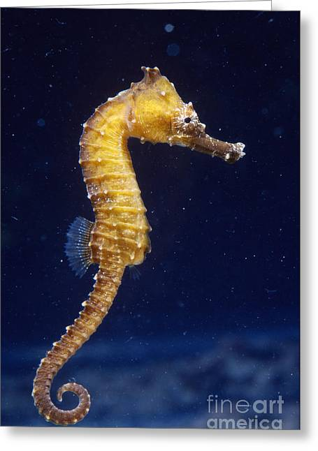 Sea Horse Greeting Cards - Seahorse Juvenile Greeting Card by Gregory G. Dimijian