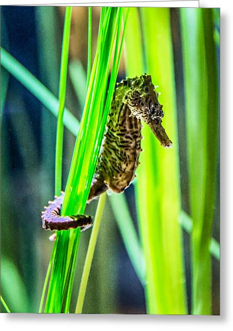 Sea Creature Photos Greeting Cards - Seahorse Greeting Card by Steve Harrington