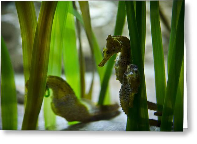 Snorkel Greeting Cards - Seahorses Greeting Card by Jessica Berlin