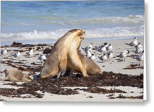 Sea Lions Greeting Cards - Seal Beach Battle Greeting Card by Mike Dawson