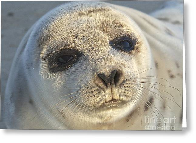 Amazing Jules Greeting Cards - Seal Pup Greeting Card by Amazing Jules
