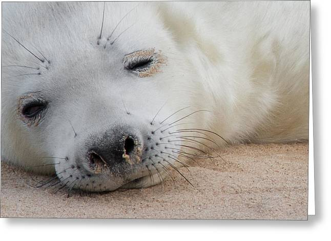 Norfolk Greeting Cards - Seal Pup Greeting Card by Ian Hufton