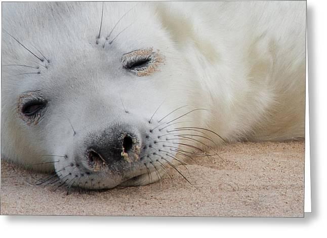 Grey Photographs Greeting Cards - Seal Pup Greeting Card by Ian Hufton
