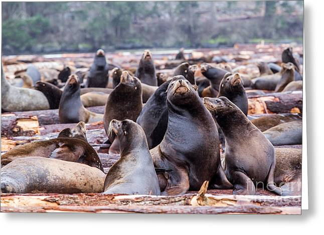 California Sea Lions Greeting Cards - Sealion Festival Greeting Card by Alanna DPhoto