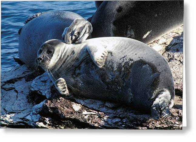 Chubby Greeting Cards - Seals Greeting Card by Anonymous