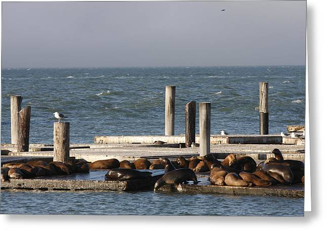 Seals Greeting Card by Kimberly Oegerle
