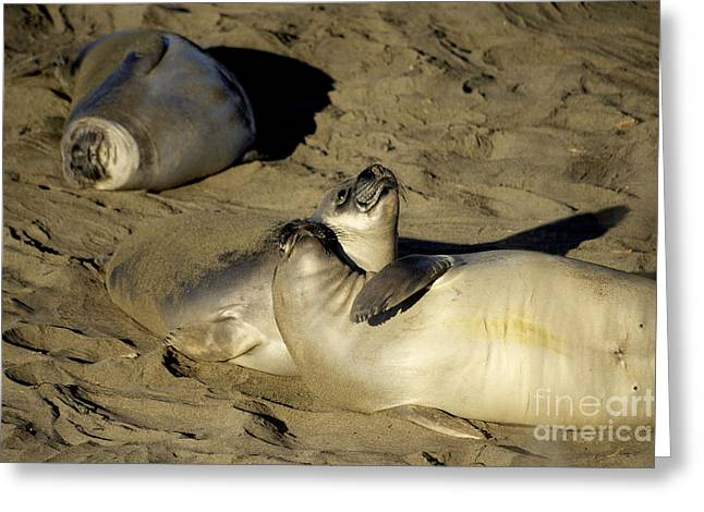 Elephant Seals Greeting Cards - Seals on the Beach  Greeting Card by Rob Hawkins
