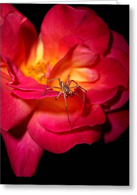 Tea Rose Greeting Cards - Searching For Miss Muffet Greeting Card by Donna Blackhall