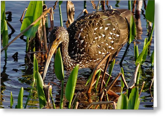Wildlife Refuge. Greeting Cards - Searching for Snails Greeting Card by Dawn Currie