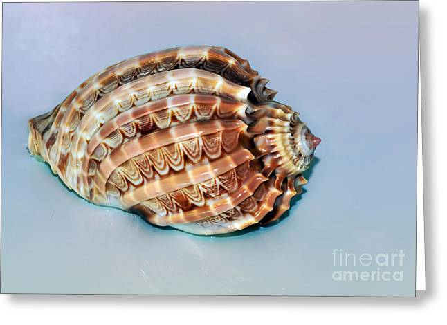Seashell Wall Art 9 - Harpa Ventricosa Greeting Card by Kaye Menner