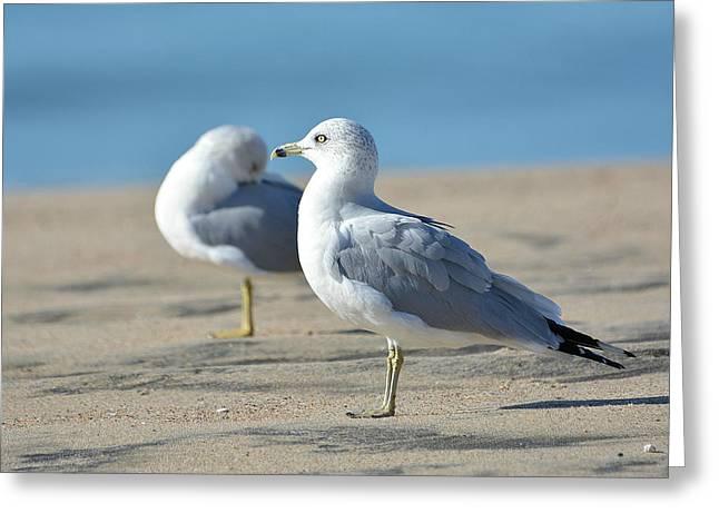 Ring-billed Gull Greeting Cards - Seashore Sentry Greeting Card by Fraida Gutovich