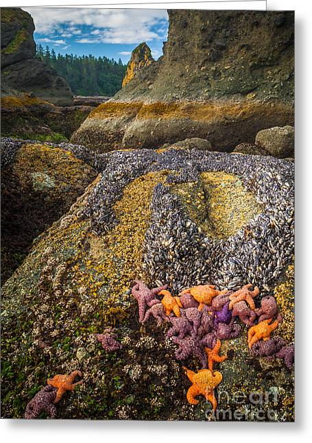 Shi Greeting Cards - Seastars and Barnacles Greeting Card by Inge Johnsson