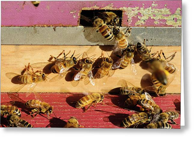 Seattle Honeybees At Entrance To Beehive Greeting Card by Matt Freedman