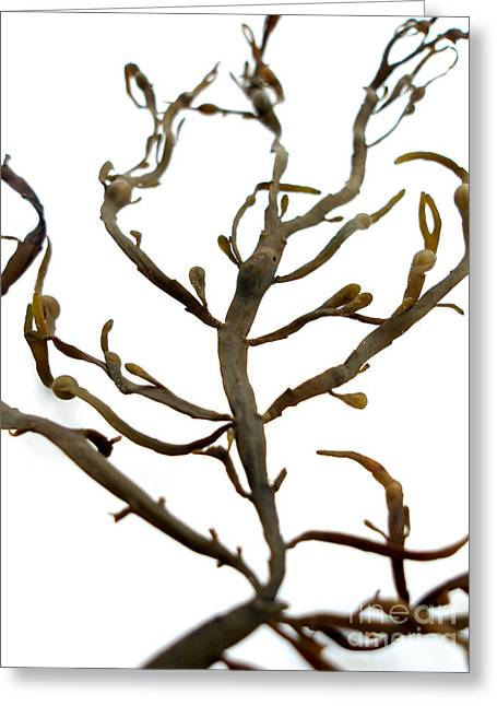 Beachcombing Greeting Cards - Seaweed Close-up Greeting Card by Jennifer Booher