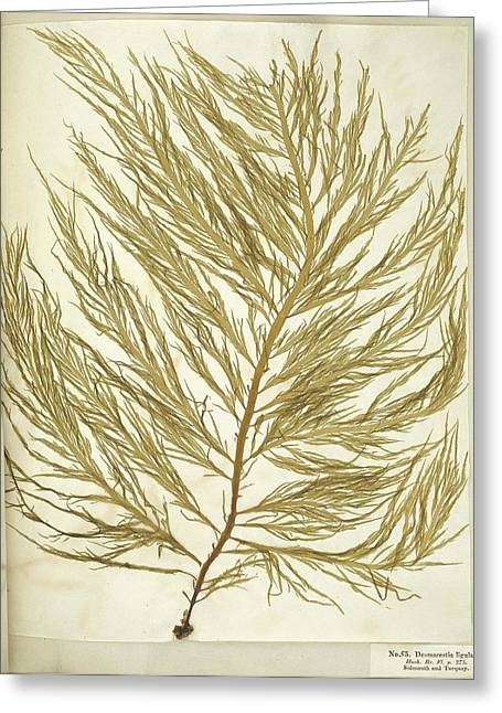 Algae Greeting Cards - Seaweed (Desmarestia ligulata) Greeting Card by Science Photo Library