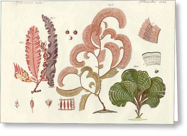 Algae Drawings Greeting Cards - Seaweed different kinds Greeting Card by Splendid Art Prints