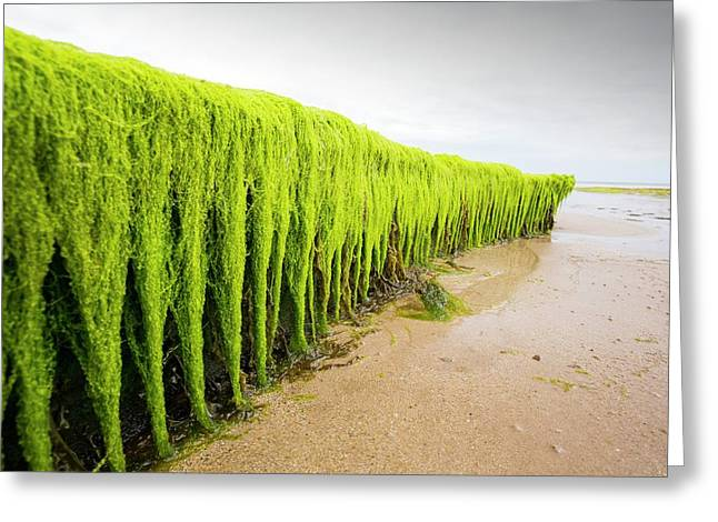 Seaweed Draped Over A Rock Greeting Card by Ashley Cooper