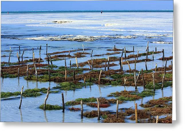 African Huts Greeting Cards - Seaweed Farm On Zanzibar Island Greeting Card by Aidan Moran