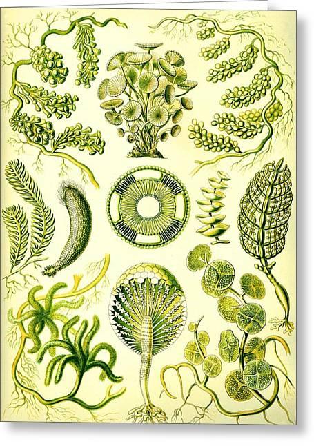 Alga Greeting Cards - Seaweed Green Algae Chlorophyceae Caulerpa Siphonal Greeting Card by Movie Poster Prints