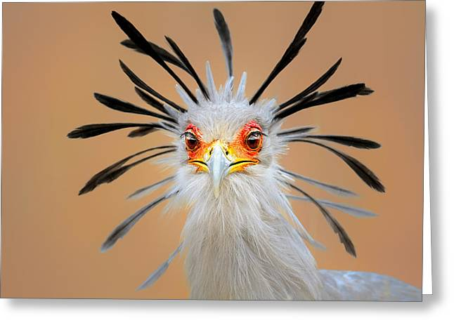 Crowned Head Greeting Cards - Secretary bird portrait close-up head shot Greeting Card by Johan Swanepoel