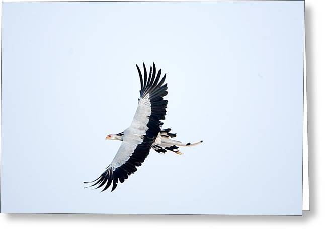 Rift Greeting Cards - Secretary Bird Sagittarius Serpentarius Greeting Card by Panoramic Images