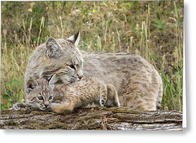 Bobcats Greeting Cards - Security Greeting Card by Elaine Haberland