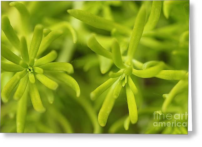 Foliage Fragrance Greeting Cards - Sedum Greeting Card by Corey Ford