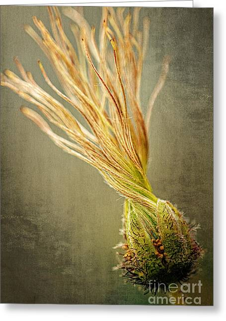Avens Greeting Cards - Seed Head of Dryas octopetala Greeting Card by Heiko Koehrer-Wagner