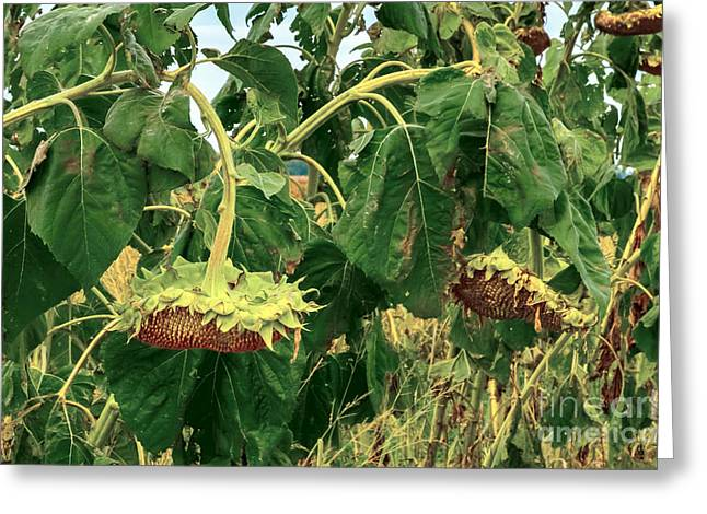 Seeds 2 Greeting Card by Baywest Imaging