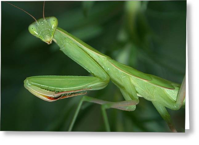Preying Mantis Greeting Cards - Seeing Green Greeting Card by Shane Bechler