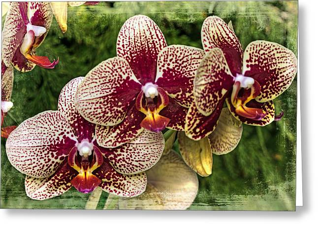 Phalenopsis Greeting Cards - Seeing Spots Before My Eyes Greeting Card by Mother Nature
