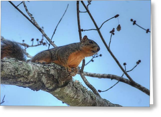 Fox Squirrel Greeting Cards - Seeing The Sights Greeting Card by Ester  Rogers