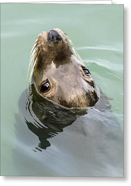 California Sea Lions Greeting Cards - Seeking Snacks Greeting Card by Arline Scott