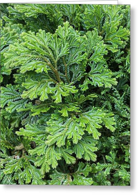 Selaginella Martinsii Greeting Card by Geoff Kidd
