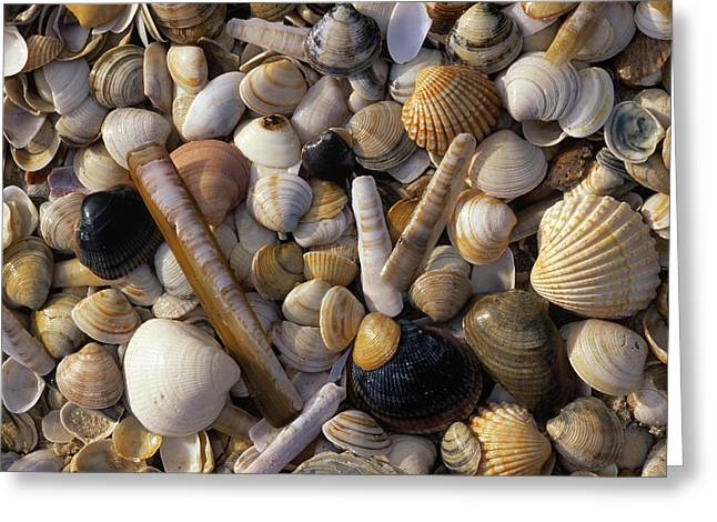 Jan Vermeer Photographs Greeting Cards - Selection Of Bivalve Shells Greeting Card by Jan Vermeer
