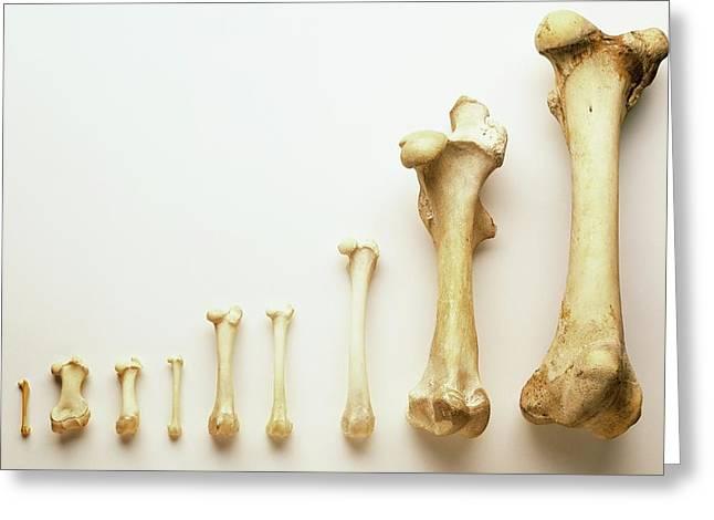 Selection Of Thigh Bones Greeting Card by Dorling Kindersley/uig