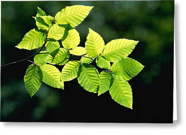 Green Leafs Greeting Cards - Selective Focus Striped Leaves Greeting Card by Panoramic Images