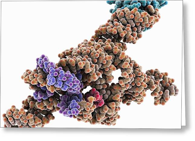 Ribonucleoprotein Greeting Cards - Self-splicing RNA intron, molecular Greeting Card by Science Photo Library