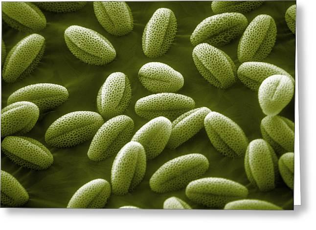 Sem Greeting Cards - Sem Of Grass Pollen Greeting Card by David M. Phillips